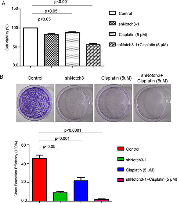 Notch3 knockdown renders urothelial cancer cells sensitive to a 15-day treatment with cisplatin.
