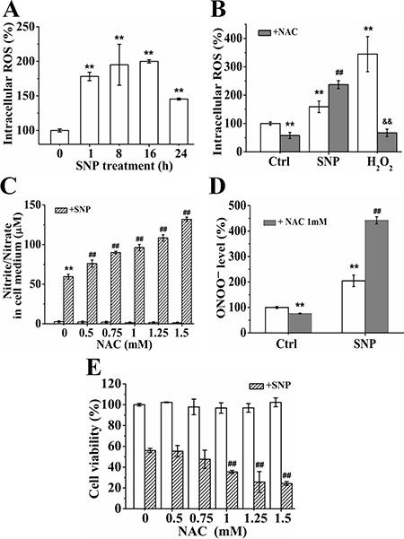 NAC promotes the cytotoxicity of SNP.