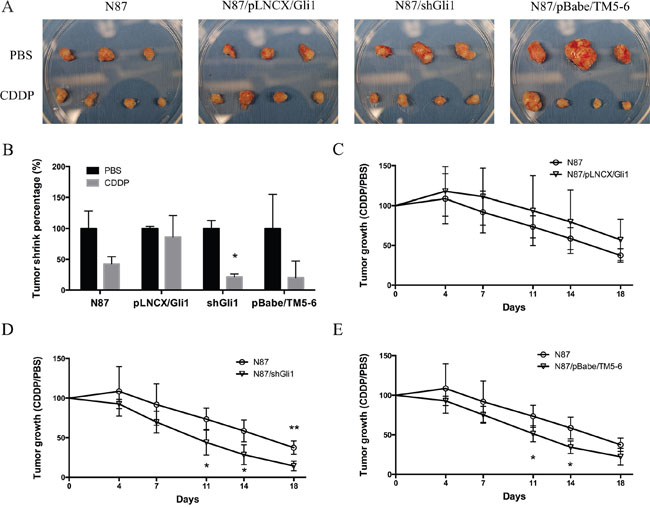 CDDP sensitivity in mouse models.