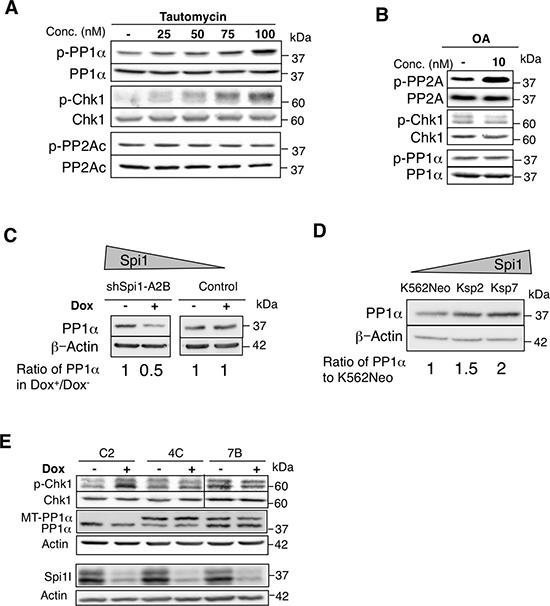 The PP1 phosphatase decreases CHK1 phosphorylation.
