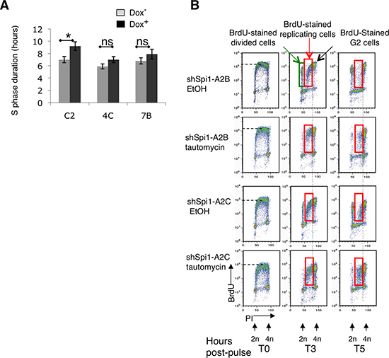 PP1α overexpression in Spi1 pre-leukemic cells inhibits CHK1 phosphorylation and the increase of S phase duration following Spi1 down-regulation.
