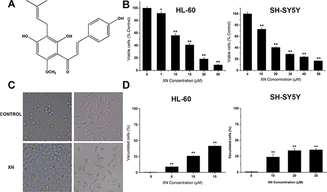 XN treatment results in reduced cell viability and morphological changes in cancer cells.