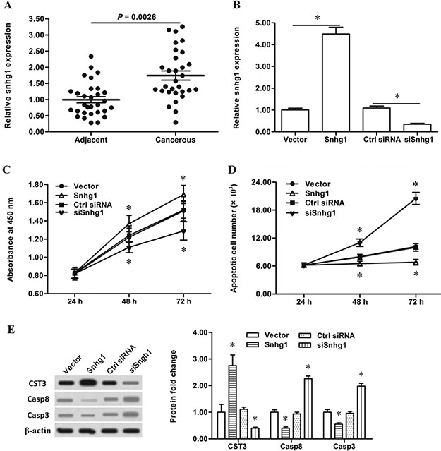 LncRNA-Snhg1 promoted esophageal cancer cell proliferation and CST3 expression.