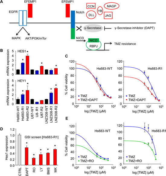 EFEMP1 induces Notch signaling in glioblastoma cells.