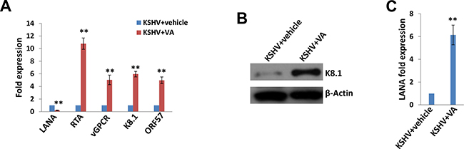 Induction of lytic reactivation and virus production from KSHV latently infected SiHa cells.