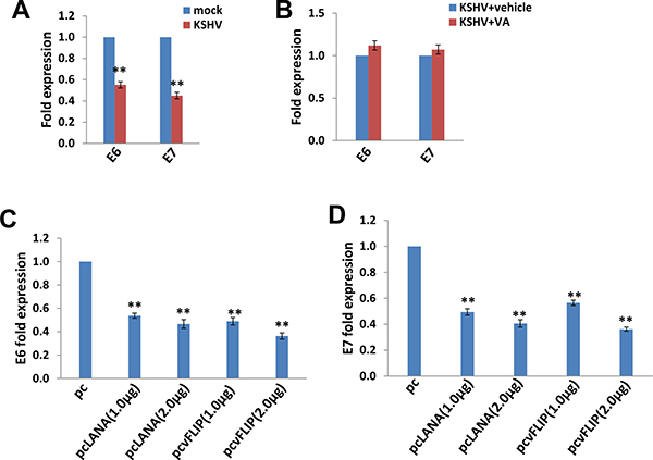 The down-regulation of HPV16 E6 and E7 by KSHV and/or viral latent proteins.