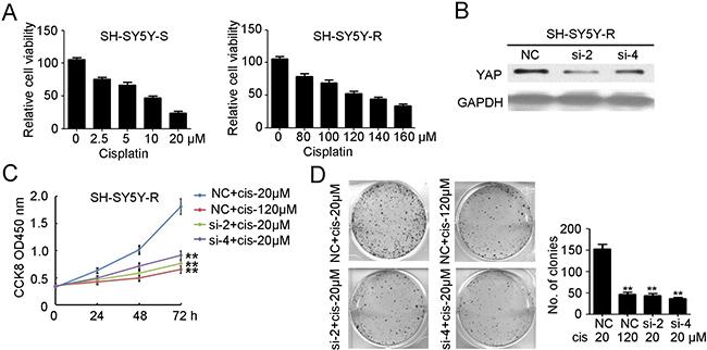 Knockdown of YAP inhibits the proliferation and tumorgenesis of cisplatin resistant neuroblastoma.