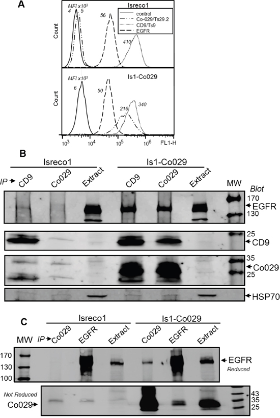 Co-029 increases the association of EGFR with the tetraspanin web.