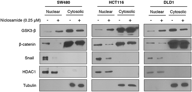 Niclosamide increased nuclear GSK3 activity resulting in decreased nuclear β-catenin and Snail abundance.