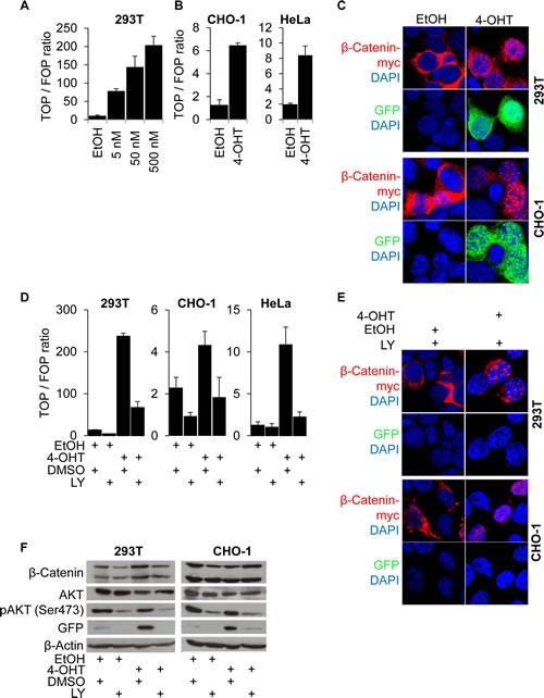 β-Catenin nuclear accumulation and transcriptional transactivation by PI3K are required for β-Catenin mediated transcription.