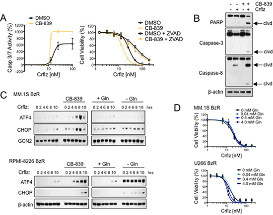 CB-839 synergistically enhances Crflz-induced apoptosis and ER stress.
