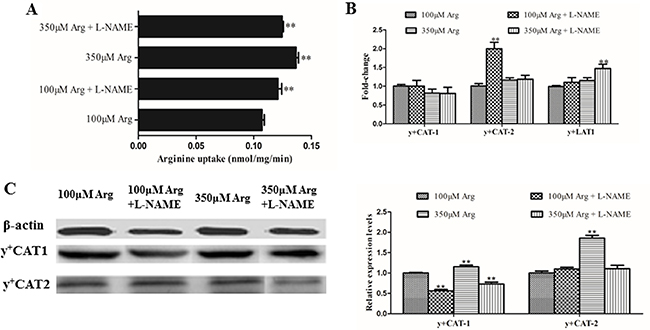 Effects of inhibition of Arg-NO pathway on arginine transport rate.