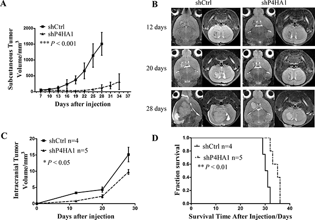 Knockdown of P4HA1 inhibits tumor growth and prolongs the OS of xenograft mice.