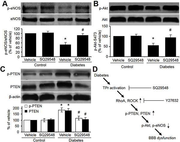 TPr activation mediates hyperglycemia-reduced Akt-eNOS signaling in rat brains.