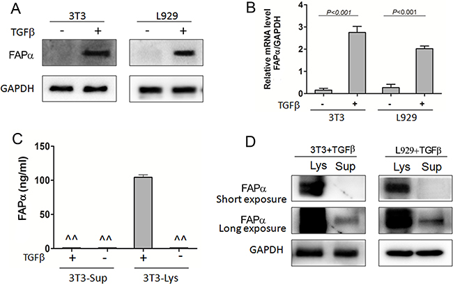 Soluble FAPα detected in the cell supernatant and lysate of fibroblast cell lines.
