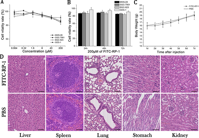 The toxicity of FITC-RP-1 ex vivo and in vivo.