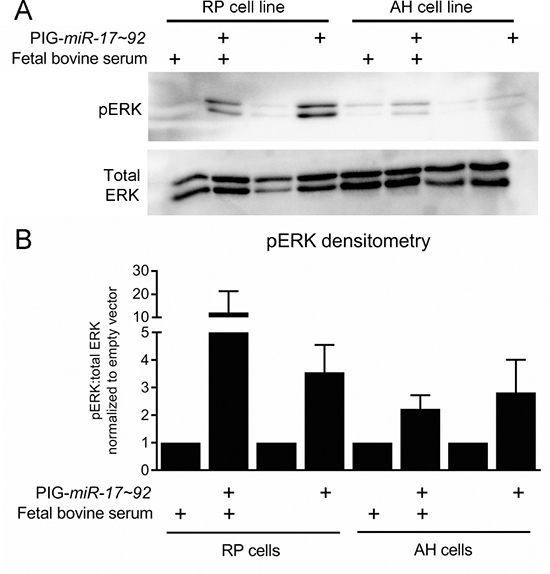 ERK signaling is increased by mir-17~92 overexpression in PanIN cell lines.