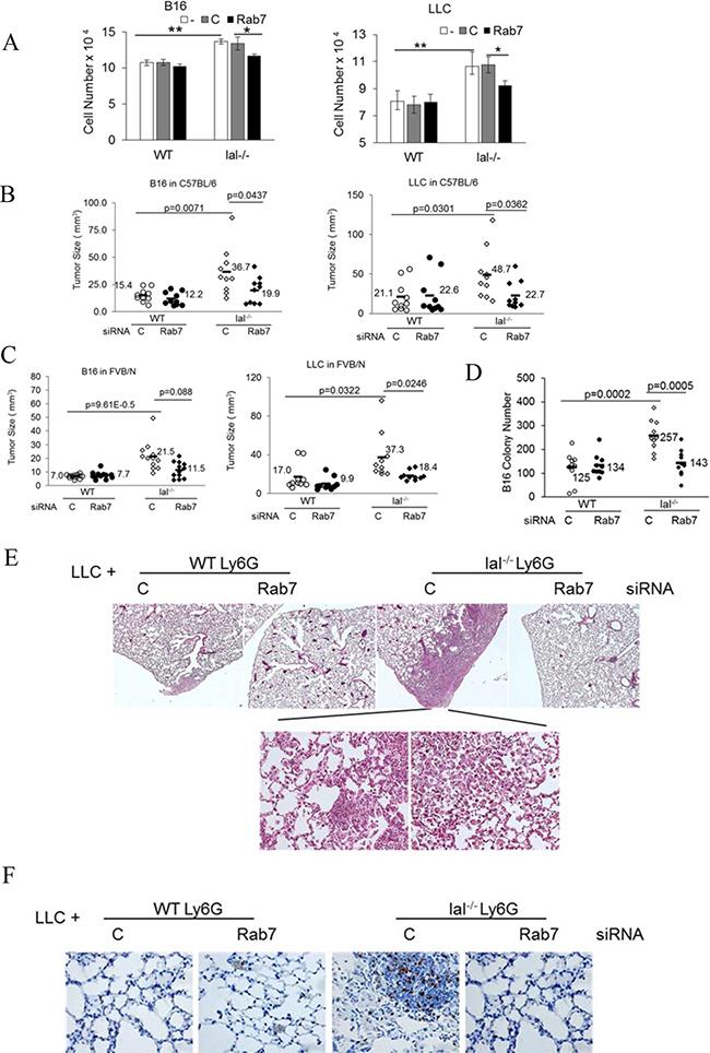 Rab7 GTPase controls tumor stimulation of lal–/– MDSCs.