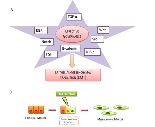 Epithelial mesenchymal transition scheme.