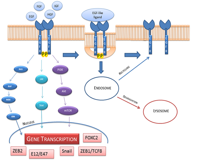 EGFR activation, internalization, recycling and degradation.