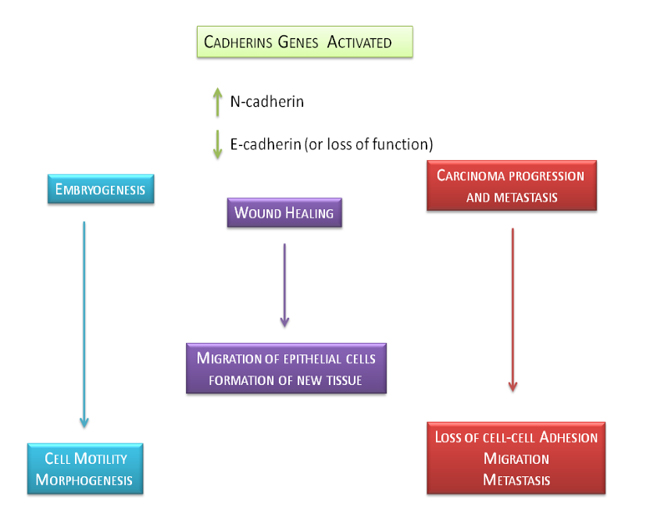 Physiological and pathological role of E-cadherin and N-cadherin genes.