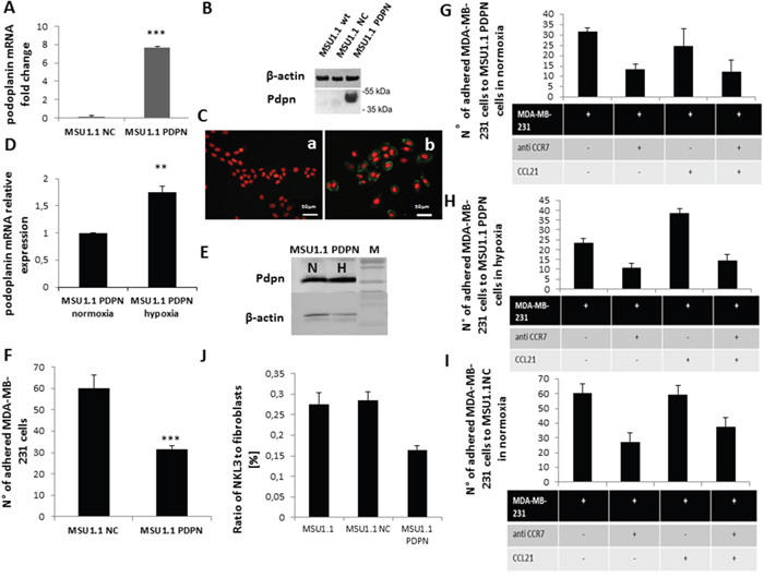 Impact of podoplanin/CCL21 interaction on MDA-MB-231 cells adhesion to MSU1.1 and MSU1.1 PDPN cells surface in normoxia and hypoxia.