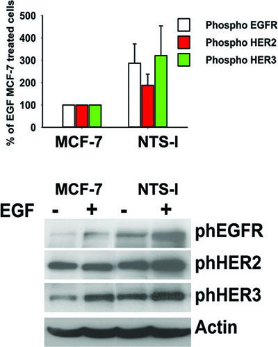 Synergy between NTS and EGF to activate EGFR, HER2, and HER3.