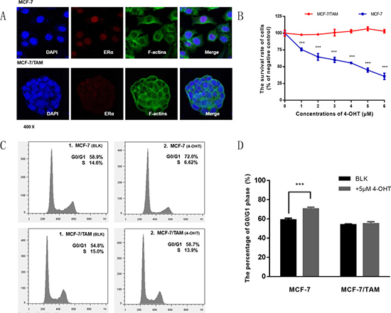 Detecting the expression of ER α and tamoxifen sensitivity in MCF-7 and MCF-7/TAM cell lines.
