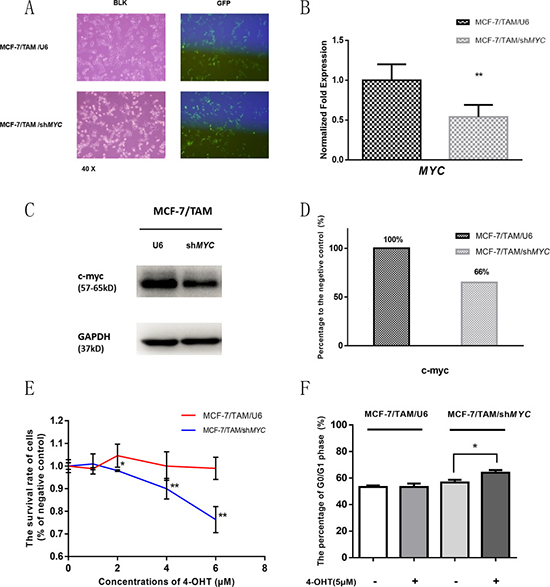 MYC gene was knocked down in MCF-7/TAM cell line by shRNA, and cell survival rate and cell cycle was detected after 4-OHT treatment.