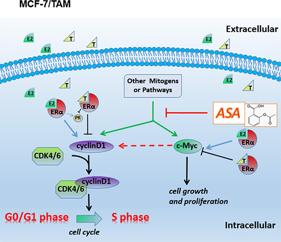 Diagramatic representation of the possible related molecular mechanism of MCF-7/TAM.