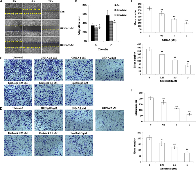 GRN A inhibited cells migration and invasion in HepG-2 cells.