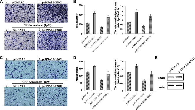 Overexpression of ENO1 reversed the effect of GRN A on cell migration and invasion.