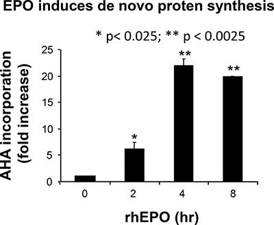 Effect of EPO on de novo protein synthesis.