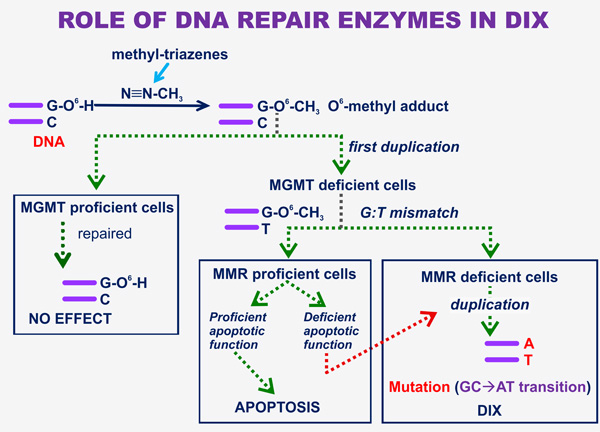 The role of DNA repair enzymes in DIX.