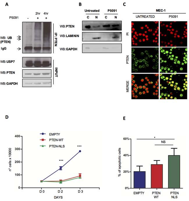 USP7 inhibition affects PTEN delocalization.