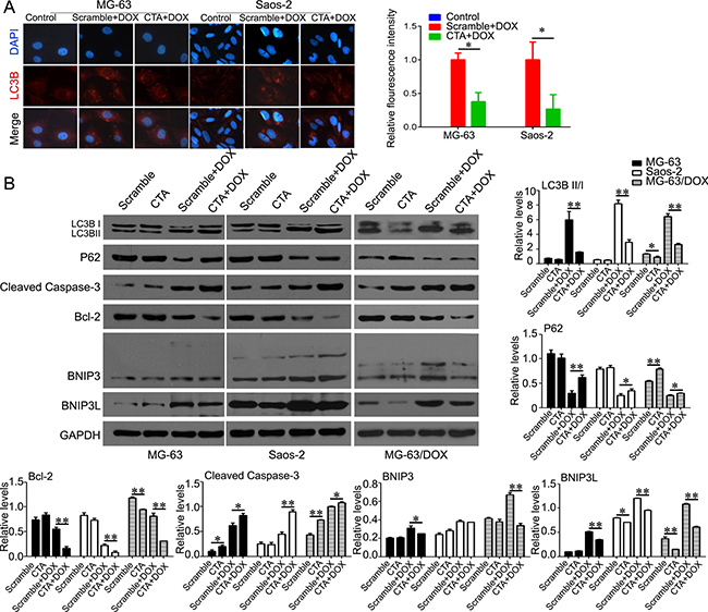 LncRNA CTA inhibits autophagy that induced by DOX.