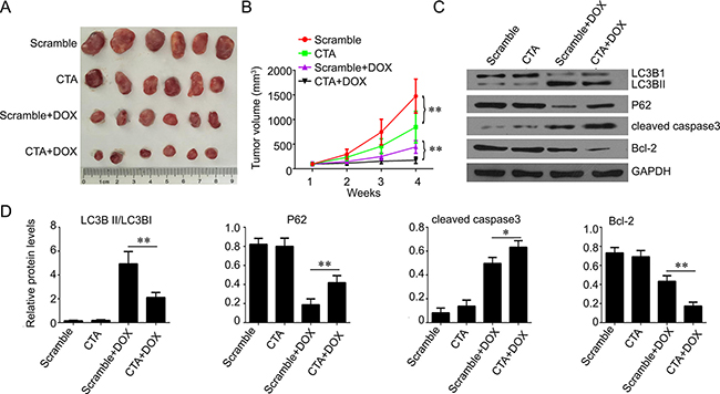 LncRNA CTA inhibits osteosarcoma growth in vivo.