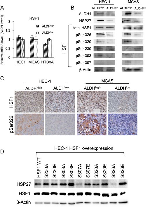 Stress-activated transcription factor HSF1 works upstream of HSP27.