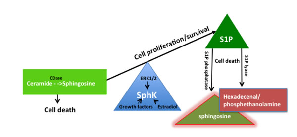The sphingosine kinase (SphK) rheostat in the maintenance of cell proliferation and function.