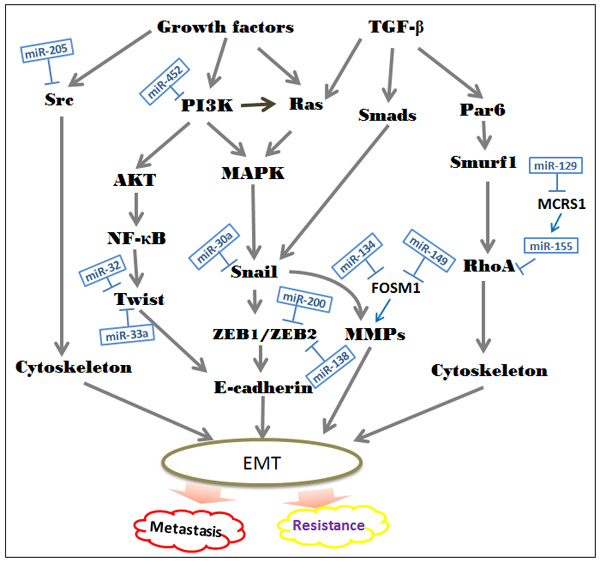 Suppressive roles of special miRNAs in the EMT-associated regulatory networks.