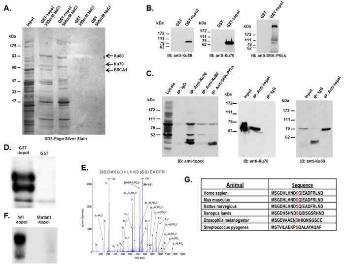 DNA-PK interacts with topoI and DNA-PKcs phosphorylates topoI at S10.