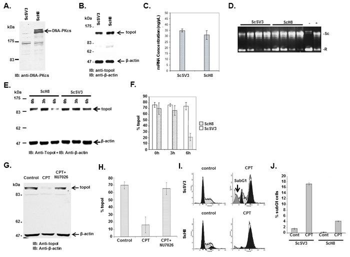 DNA-PKcs dependent topoI-S10 phosphorylation is required for topoI degradation in response to CPT.