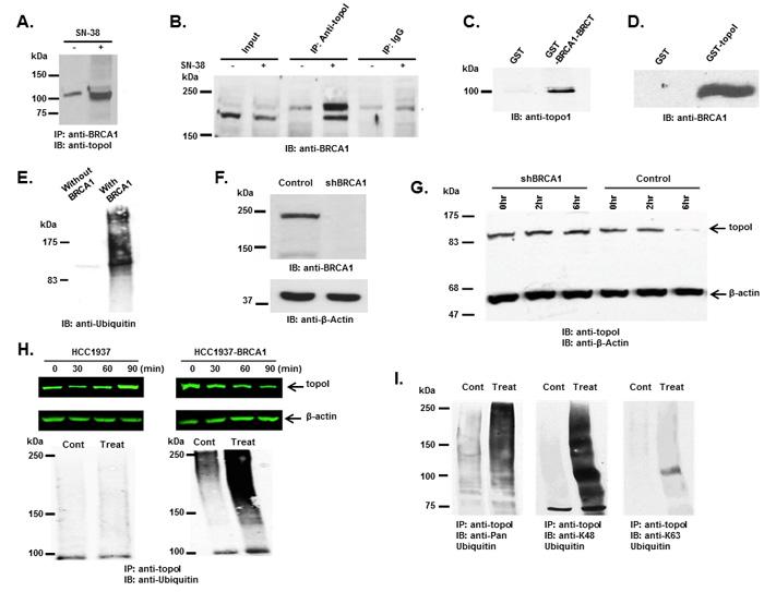 BRCA1 associates and ubiquitinates topoI.