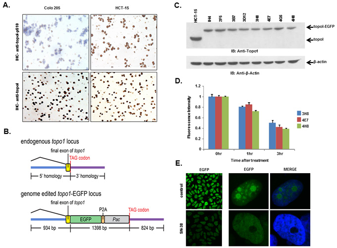 HCT-15 cells have higher basal level of topoI-pS10 and generating topoI-EGFP fusion cells.