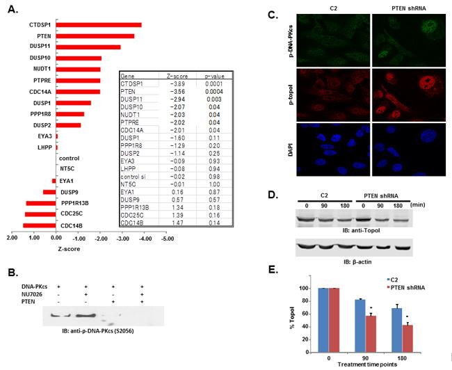 DNA-PKcs dependent topoI-S10 phosphorylation is regulated by PTEN.