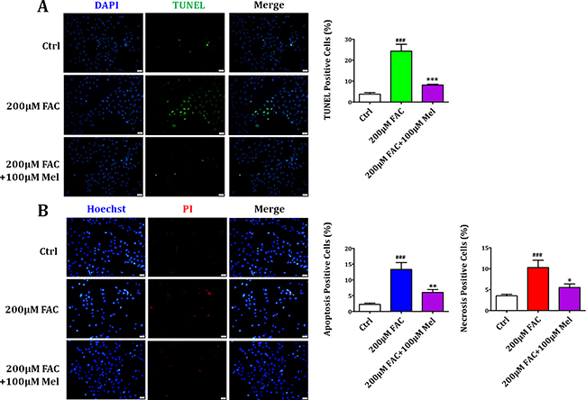 Melatonin protected BMSCs against FAC-induced apoptosis and necrosis.
