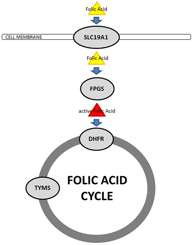 Schematic illustration of cellular folic acid metabolism.