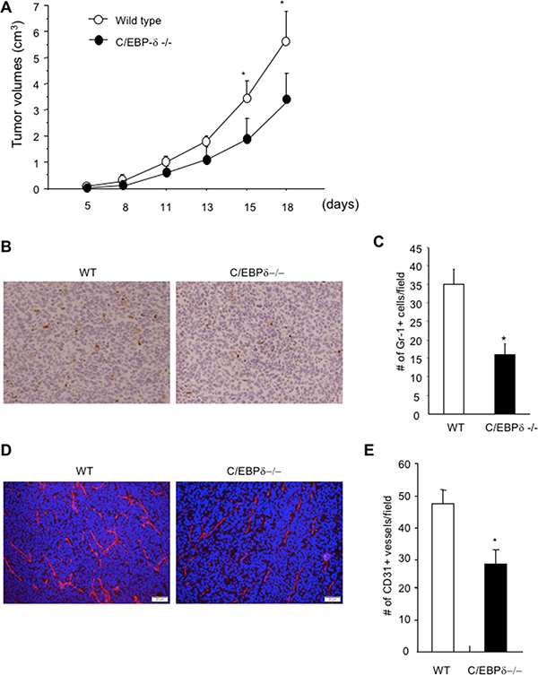 Genetic deletion of C/EBP-δ in mice results in a significant reduction of myeloid cell infiltration, tumor angiogenesis and tumor growth.
