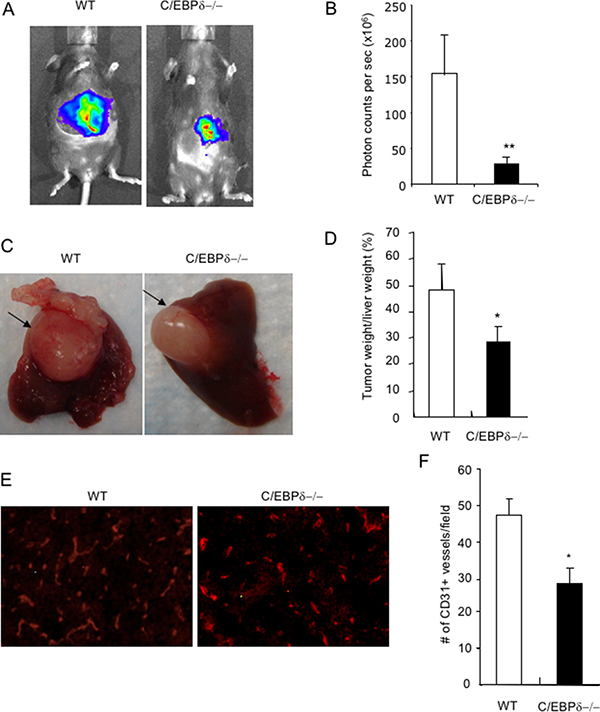 Genetic deletion of C/EBP-δ in mice impairs tumor growth in a liver model.
