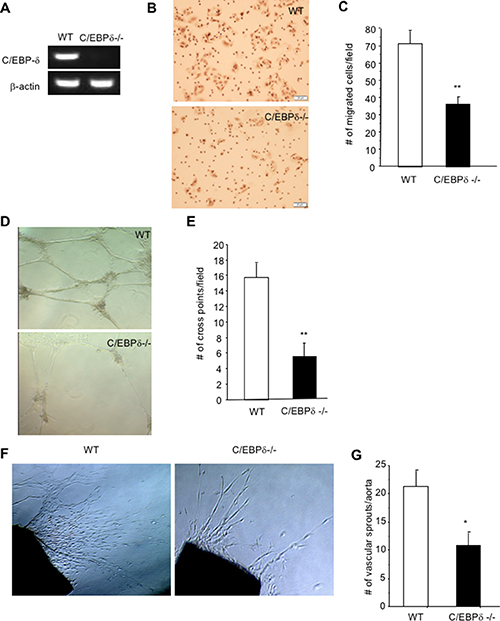 C/EBP-δ is expressed in vascular endothelial cells, and regulates cell motility and angiogenesis.
